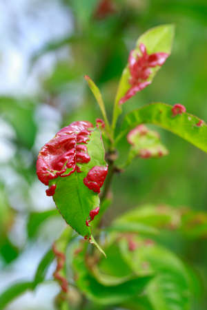 Peach leaf curl close up on a summer day