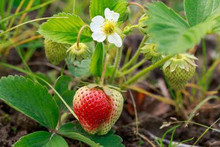 Beautiful flowering strawberry bush with one berry Stockfoto