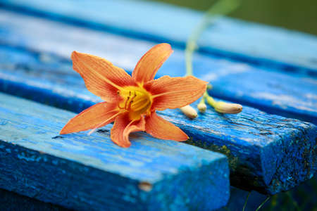 Orange lily on a blue bench in the garden Stockfoto