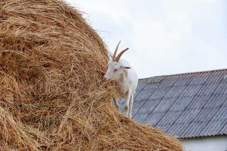 Goat eat fresh hay near the farm Stockfoto