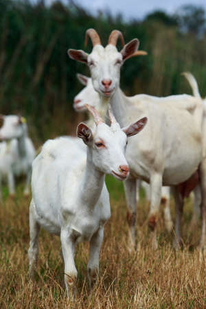 Goats in the pasture of organic farm Stockfoto