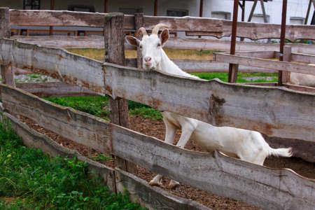 Young white goat on an organic farm Stockfoto