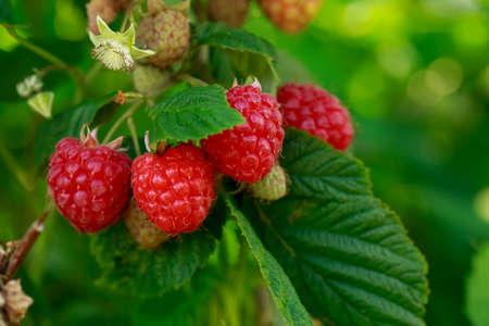 Big beautiful ripe raspberries on a branch close up