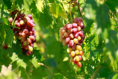Bunch of grapes on the vine with green leaves Stock Photo