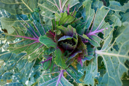 Green young ornamental cabbage with burgundy veins close up