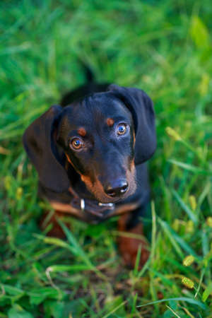 Black and brown dachshund sitting on green grass Stock Photo
