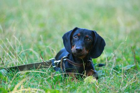 Black and brown dachshund lying down on green grass