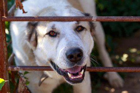 Big dog breed alabai in a metal cage Stock Photo