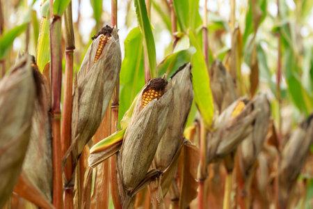 Corn on a stalk in a field