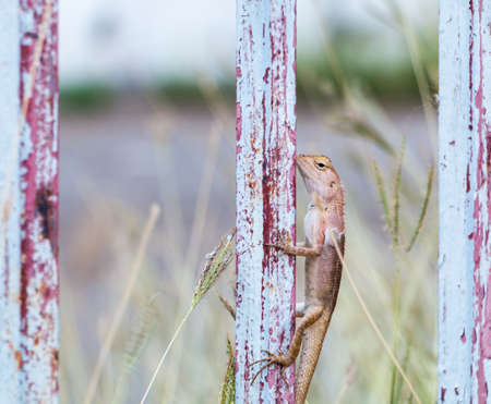 species of creeper: Thai native lizard or chameleon Stock Photo
