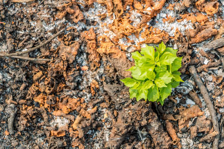 tough luck: Trees do not give up on fate. Growing up in ashes. Stock Photo