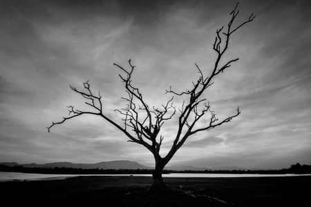 blak and white: Lone Dead Tree in Blak and White ,Thailand