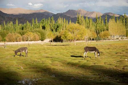ladakh: donkey at Shey palace Leh Ladakh ,India