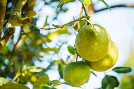 pomelo: Pomelo fruit tree in the garden ,Thailand Stock Photo