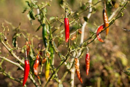 bush pepper: red chili pepper on tree in the bush