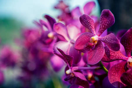 callosum: Beautiful Purple orchid flower tree with cold tone filter. Stock Photo