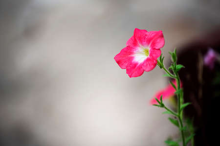 asterids: Beautiful pink flower and concrete background. Periwinkle flower.