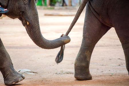 Cierre de trompa de elefante que sostiene la cola del otro elefante. Foto de archivo - 41121575