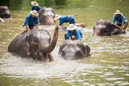 LAMPANG THAILAND  JUNE 8 : Daily elephant show at The Thai Elephant Conservation Center mahouts bath and clean the elephants in the river for show the tourism. June 8 2015 Lampang Thailand. Editorial