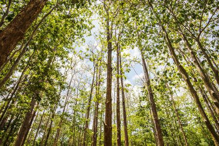サイ ヨークにある国立公園カンチャナブリ県、タイのチークの木。 写真素材