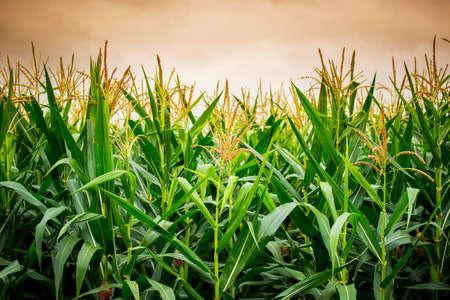 mazorca de maiz: Cierre de la flor de ma�z en la puesta del sol. Foto de archivo