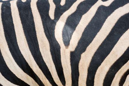 cebra: Cierre de rayas de cebra textura y el fondo. Foto de archivo