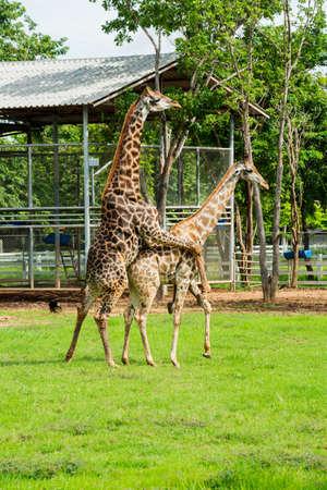 Alma gemela de apareamiento de la jirafa en la granja, Tailandia. Foto de archivo - 43391269