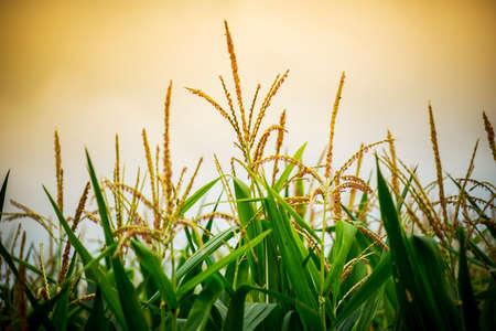 corn flower: Close up corn flower in sunset. Stock Photo