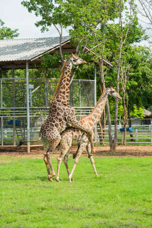 mating: Soulmate Giraffe mating on the farm ,Thailand.