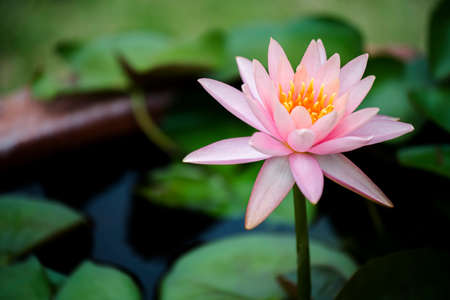 pink lily: beautiful pink waterlily or lotus flower in pond.