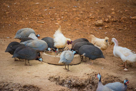 guinea fowl: guinea fowl, rooster and duck eating in farm.