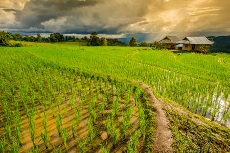 terraced field: Terraced rice field with sun rays and dramatic sky in Pa Pong Pieng. Chiang Mai ,Thailand.