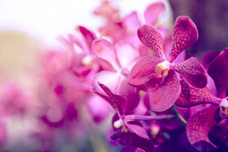 yellow orchid: Beautiful Purple orchid flower tree.