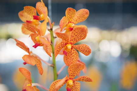 callosum: Close up beautiful orchids flower tree. Stock Photo