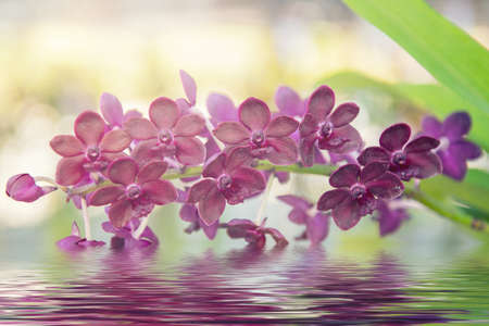 callosum: Beautiful purple orchids flower tree and water reflection. Stock Photo