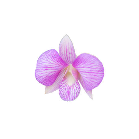 callosum: Beautiful pink orchid flower isolated on white.