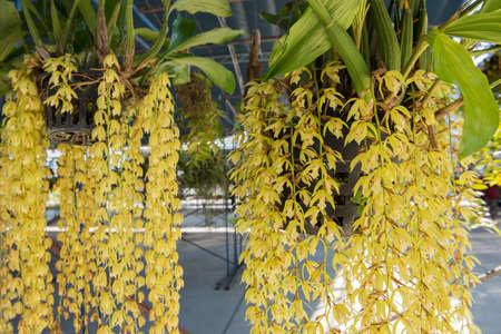 callosum: Beautiful yellow orchids flower tree Coelogyne rochussenii on the farm.