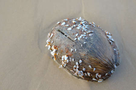 barnacles: Goose barnacles or gooseneck barnacles on coconut.