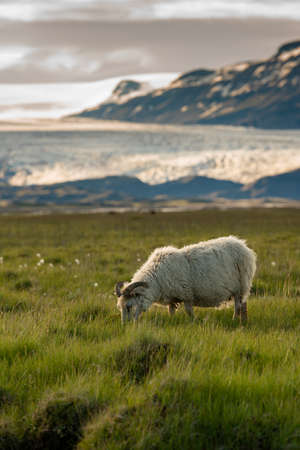 A herd of sheep in a field and Vatnajokull glacier in background ,Iceland Summer.