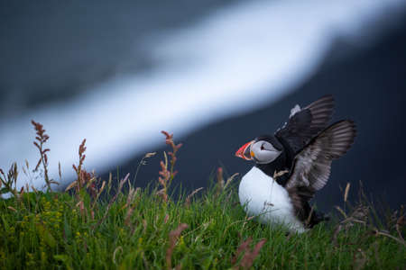 Cute Atlantic Puffin - ratercula arctica in Borgarfjordur eystri ,Iceland. Stock Photo