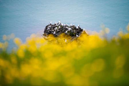 Beautiful seagulls sitting on cliff in Olafsvik ,iceland.