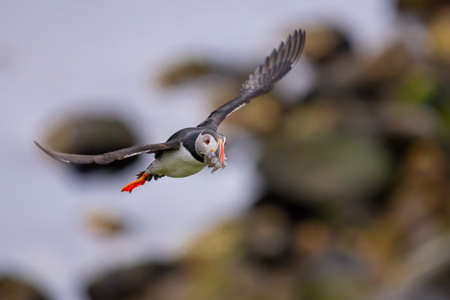 Cute Atlantic Puffin in flight and small fish in its beak Borgarfjordur eystri ,Iceland. Фото со стока - 109351891
