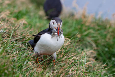 Cute Atlantic Puffin with small fish in its beak  Borgarfjordur eystri ,Iceland.