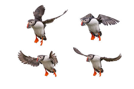 Cute Atlantic Puffin in flight and small fish in its beak Isolated on white background.