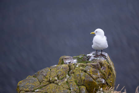 Beautiful seagulls standing on cliff in Londrangar ,iceland. Фото со стока