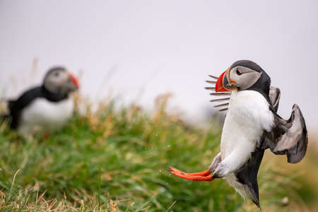 Cute Atlantic Puffin in flight and small fish in its beak Borgarfjordur eystri ,Iceland.