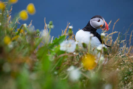 Cute Atlantic Puffin - ratercula arctica in Borgarfjordur eystri ,Iceland. Фото со стока