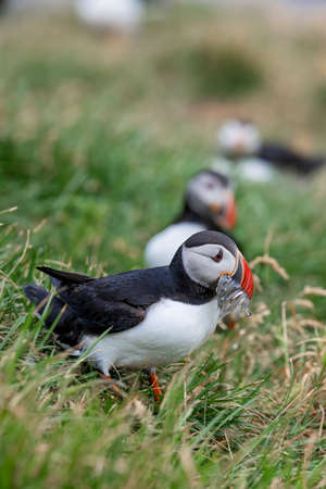 Cute Atlantic Puffin with small fish in its beak  Borgarfjordur eystri ,Iceland. Фото со стока - 109237643