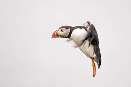 Cute Atlantic Puffin in flight - ratercula arctica in Borgarfjordur eystri ,Iceland. Фото со стока