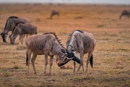 Wildebeest on grassland in Amboseli National Park ,Kenya.
